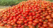 تعبیر خواب مرده گوجه فرنگی بدهد ، دادن و گرفتن گوجه از ظرف مرده در خواب
