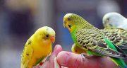 تعبیر خواب مرغ عشق از قفس پریدن ، معنی پریدن مرغ عشق از قفس در خواب