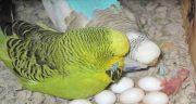تعبیر خواب مرغ عشق در قفس چیست ،  معنی دیدن مرغ عشق در قفس چیست