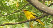تعبیر خواب مرغ مینا زرد ، تعبیر خواب گرفتن مرغ مینا زرد در خواب چیست
