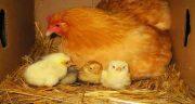 تعبیر خواب مرغ و جوجه ، تعبیر دیدن مرغ و جوجه های رنگارنگ و زیاد در خواب چیست