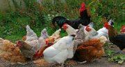 تعبیر خواب مرغ و خروس ، برای زن باردار و جوجه در خانه دیدن نشانه چیست