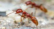 تعبیر خواب مورچه قرمز ، تعبیر دیدن مورچه قرمز در خواب چیست