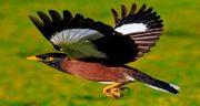 تعبیر خواب پرنده مینا چیست ، معنی دیدن پرنده مرغ مینا در خواب و قفس چیست
