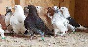 تعبیر خواب کبوتر برای زن باردار ، و کبوتر سبز رنگ و یاکریم قهوه ای یا قمری