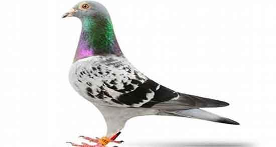 تعبیر کبوتر در خواب ، دیدن کبوتر سفید در خواب چه معنایی دارد