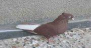 تعبیر خواب کبوتر قهوه ای ، دیدن و گرفتن کبوتر قهوه ای و سفید و بزرگ و مرده