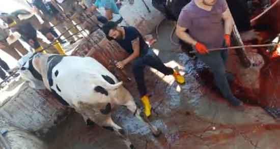 تعبیر خواب کشتن گاو ، و سر بریدن گاو در خواب چیست