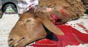 تعبیر خواب کشتن گوسفندان ، طویله و گم شدن و سربریدن گوسفندان در خواب