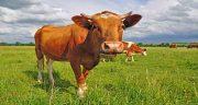 تعبیر خواب گاو زرد در خواب ، معنی دیدن گاو زرد و قهوه ای در خواب چیست