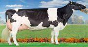 تعبیر خواب گاو سیاه و سفید ، معنی دیدن گاو سیاه و سفید در خواب چیست