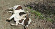 تعبیر خواب گاو مرده چیست ، معنی دیدن گاو مرده در خواب چیست