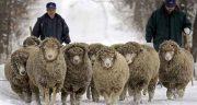 تعبیر خواب گم شدن گوسفندان ، معنی گم شدن گوسفندان در خواب ما چیست