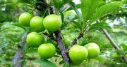 تعبیر خواب گوجه سبز خوردن ، و چیدن گوجه سبز از درخت و خوردن در خواب چیست