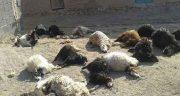 تعبیر خواب گوسفندان مرده ابن سیرین ، و مردن گوسفند در خواب امام صادق