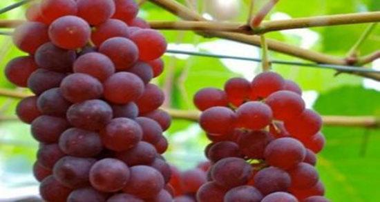 تعبیر خواب انگور قرمز درشت ، تعبیر خواب دادن شاخه انگور سبز به دیگران