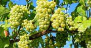 تعبیر خواب انگور سبز ، و قرمز ترش و نرسیده خوردن و دیدن از ابن سیرین