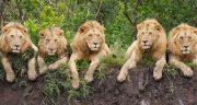 تعبیر خواب بازی با شیر جنگل ، تعبیر خواب بچه شیر جنگل در خانه
