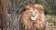 تعبیر خواب دوستی با شیر جنگل ، بچه شیر جنگل در خانه حصرت یوسف