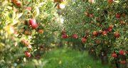تعبیر خواب درخت سیب ، پر میوه و چیدن سیب قرمز از درخت و خوردن آن