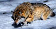 تعبیر خواب گرگ و برف ، حمله گرگ به انسان در برف و زمستان در خواب