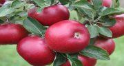 تعبیر خواب درخت پر از سیب ، و چیدن سیب قرمز از درخت ابن سیرین