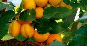 تعبیر خواب زردآلو روی درخت ، حضرت یوسف و ابن سیرین در بارداری و قرمز