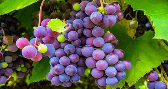 تعبیر خواب انگور دزدیدن ، و باغ انگور سبز و انگور و سیب گرفتن از دیگران