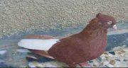 تعبیر خواب کبوتر قرمز ، و یاکریم قهوه ای در منزل و ترسیدن از کبوتر سرخ