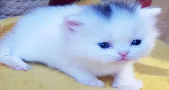 تعبیر خواب گربه سفید کوچک ، سیاه و زرد در خانه داشتن چیست
