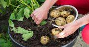 تعبیر خواب کاشتن سیب زمینی ، برداشت و جمع آوری سیب زمینی از خاک