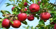 تعبیر خواب باغ سیب ، سبز و زرد و قرمز و دیدن درخت پر از سفید در خواب