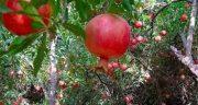 تعبیر خواب باغ انار ، قرمز دیدن در خواب برای زن باردار و انگور شیرین