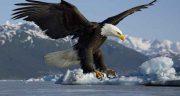تعبیر خواب دیدن عقاب ، در خواب و قفس و عقاب سفید و سیاه و شاهین