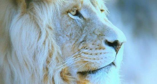 تعبیر خواب حرف زدن با شیر ، جنگل ماده و نر + بچه شیر در خانه