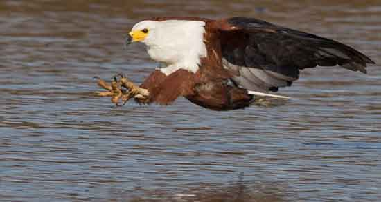 تعبیر خواب شکار عقاب ، سیاه و سفید و قهوه ای و شکار شدن مار توسط عقاب