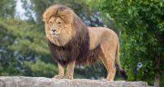 تعبیر خواب شیر جنگل ابن سیرین ، تعبیر دیدن بچه شیر ماده در خانه