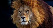 تعبیر خواب شیر جنگل منوچهر مطیعی ، حرف زدن با بچه شیر در خانه