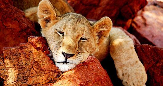 تعبیر خواب شیر جنگل رام شده ، دیدن شیر جنگل حضرت یوسف و ابن سیرین