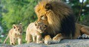 تعبیر خواب توله شیر جنگل ، تعبیر خواب دیدن شیر و پلنگ ابن سیرین