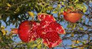 تعبیر خواب انار ترک خورده ، و رسیده و قرمز و شیرین چیدن و دزدیدن از باغ