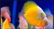 تعبیر خواب ماهی حضرت یوسف ، و گرفتن و خوردن و پختن ماهی در خواب