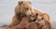 تعبیر خواب غذا دادن به خرس ، تعبیر خواب خرس سیاه و سفید + تعبیر خرس در قهوه