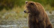 تعبیر خواب خرس قهوه ای بزرگ ، مرده + تعبیر خواب دیدن خرس قهوه ای بزرگ