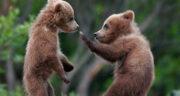 تعبیر خواب خرس نی نی سایت ، خرس قهوه ای بزرگ و کوچک سیاه