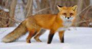تعبیر خواب بچه دار شدن روباه ، معنی بچه دار شدن روباه در خواب های ما چیست