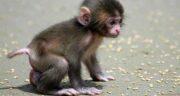 تعبیر خواب بچه میمون ، معنی دیدن بچه میمون در خواب چیست