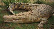 تعبیر خواب تمساح آبی ؛ معنی دیدن تمساح آبی در خواب های ما چیست