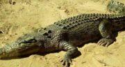 تعبیر خواب تمساح در استخر ؛ معنی دیدن تمساح در استخر در خواب های ما چیست