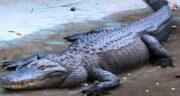 تعبیر خواب تمساح و قورباغه ؛ معنی دیدن تمساح و قورباغه در خواب های ما چیست